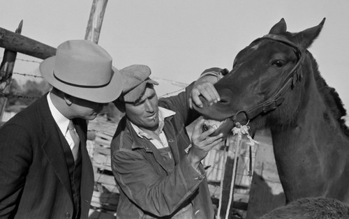 Mr. Hydrick, county supervisor, and Mr. Melody Tillery examining mouth and teeth of his mare, which has mule colt. Pike County, near Tray, Alabama. Public domain photo by Marion Post Walcott. Image sourced: flashfriday.wordpress.com