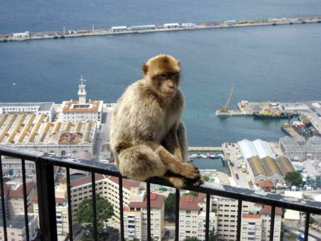 Barbary Macaque, Gibraltar. CC 2.0 photo by David Stanley.